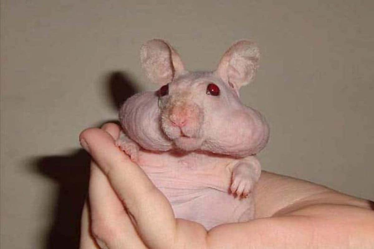 एका विशिष्ट आजारामुळे हे 'हेमस्टर'(syrian hamsters) केस गळतीला बळी पडले आहेत.
