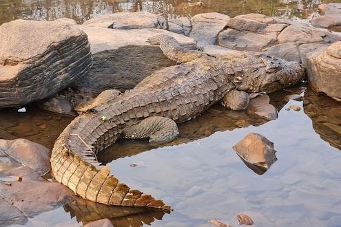 खेडमधील जगबुडी नदीत आणखी एका मगरीचा मृत्यू, दोन वर्षातील चौथी घटना; कारण अस्पष्ट