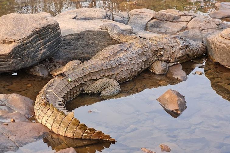खेडमधील जगबुडी नदीत आणखी एका मगरीचा मृत्यू, दोन वर्षातील चौथी घटना