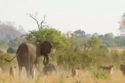 हत्तीवर सिंहाचा हल्ला; पण पुढे असं काही होतं की....पाहा VIRAL VIDEO