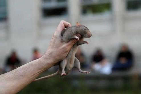 Explained: ऑस्ट्रेलियात एकाएकी वाढतेय उंदरांची दहशत, लाखोंच्या नुकसानाबरोबरच पँडेमिकची भीती