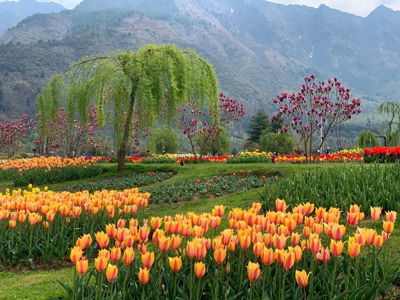 काश्मीर खोऱ्यातलं हे ट्युलिप गार्डन येत्या 25 मार्चपासून पर्यटकांसाठी खुलं होत आहे, अशी घोषणा पंतप्रधानांनी केली आहे.