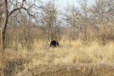 आई ती आईच असते! मादी अस्वलाचा पिलासाठी हंबरडा; अभयारण्यातील VIDEO समोर