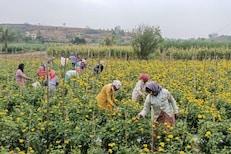 गुढीपाडवा 2 दिवसांवर आल्यानंतरही बाजारपेठा ओस; झेंडू उत्पादक शेतकरी हवालदिल