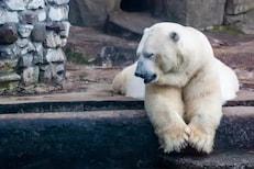 पर्यटकांचा बेफिकीरपणा; बॉल गिळल्यानं प्राणी संग्रहालयातील पोलर बिअरचा मृत्यू