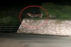 VIDEO: जुन्नरमध्ये बिबट्याची दहशत; अचानक समोर आला बिबट्या आणि मग...