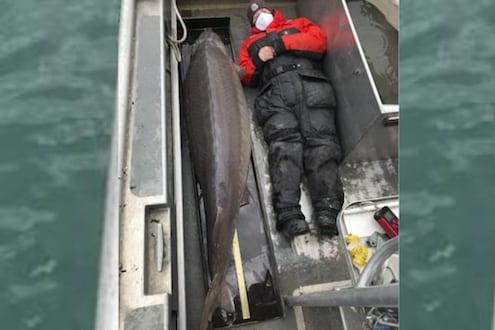अबबं! 100 वर्षांचा अवाढव्य मासा, वजन पाहून मच्छिमारही चक्रावला