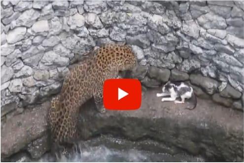 शिकार करताना बिबट्या पडला विहिरीत; बिबट्याला भिडली इवलीशी मांजर, पाहा नाशकातील थरारक VIDEO