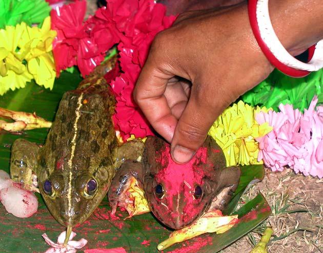 2005ರಲ್ಲಿ ಕೋಲ್ಕತ್ತದಲ್ಲಿ ನಡೆದ ಈ ಕಪ್ಪೆಗಳ ವಿವಾಹಕ್ಕೆ 500 ಮಂದಿ ಸಾಕ್ಷಿಯಾಗಿದ್ದರು. ಅಲ್ಲದೆ ವೇದ ಮಂತ್ರಗಳಿಂದ ಈ ವಿವಾಹ ನೆರವೇರಿತ್ತು.