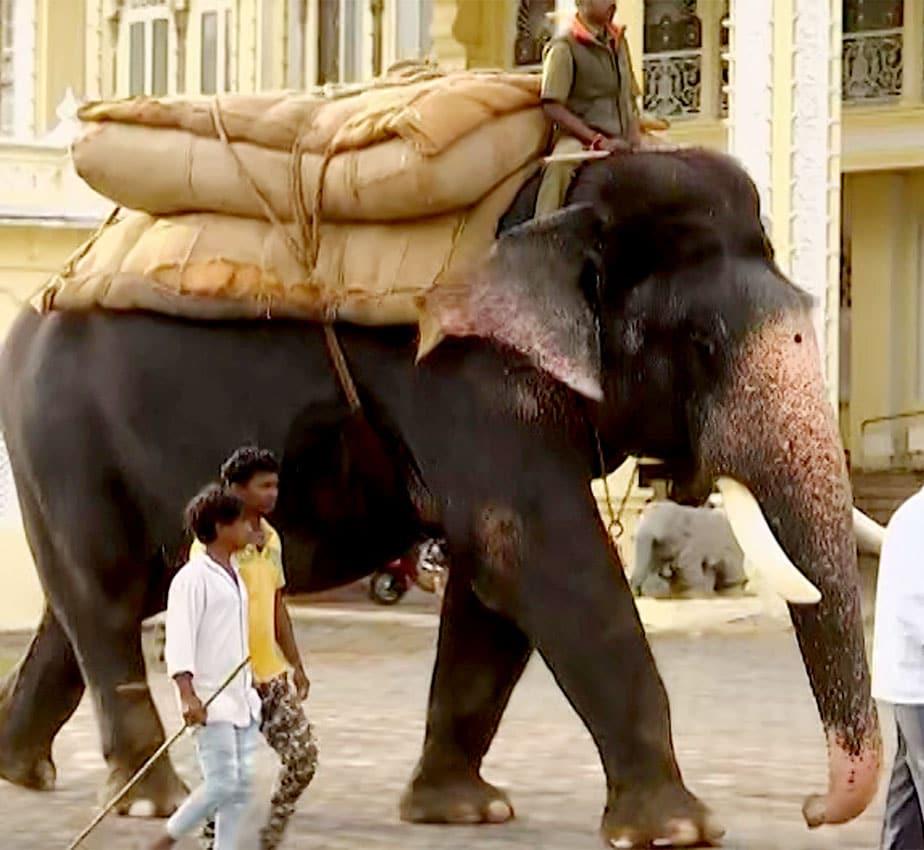 ಅಂಬಾರಿ ಹೊರುವ ಮುನ್ನ 350ಕೆಜಿ ಮರಳಿನ ಮೂಟೆಯೊತ್ತು ಸಿದ್ದವಾದ ಅರ್ಜುನ