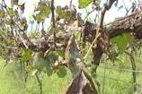 ವಿಜಯಪುರ : ದ್ರಾಕ್ಷಿ ಬೆಳೆಗಾರರಿಗೆ ಗಾಯದ ಮೇಲೆ ಬರೆ ಎಳೆದ ಎಲೆ ಉದುರುವಿಕೆ ರೋಗ