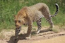 cheetah: ವಾಣಿಜ್ಯ ನಗರಿ ಹುಬ್ಬಳ್ಳಿಗೆ ಎಂಟ್ರಿ ಕೊಟ್ಟ ಚಿರತೆರಾಯ; ಚಿರತೆ ಕಣ್ಣಾಮುಚ್ಚಾಲೆ ಆಟಕ್ಕೆ ಜನ ಬೆಸ್ತು!