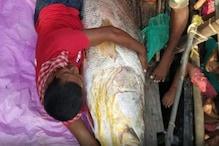 Telia Bhola fish: ಬಲೆಗೆ ಸಿಕ್ಕ ಈ ದೈತ್ಯ ಮೀನಿನ ಒಂದು ಕಿಲೋ ಮಾಂಸಕ್ಕೆ ಬರೋಬ್ಬರಿ 49,300 ರೂಪಾಯಿ!