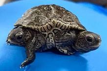 Two-Headed Turtle: ಎರಡು ತಲೆಯ, ಆರು ಕಾಲಿನ ಅಪರೂಪದ ಆಮೆ ಮರಿ ಪತ್ತೆ!