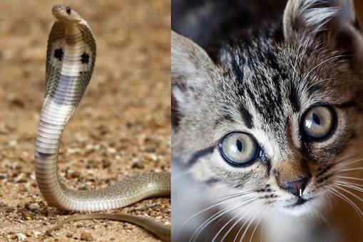 cobra cat