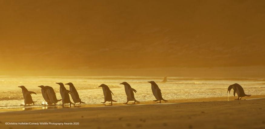 'ഹാങ് ഓവർ' (Image: Christina Holfelder/Comedy Wildlife Photo Awards 2020)