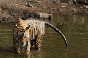 International Tiger Day 2021: ചിത്രങ്ങളിൽ, ഇന്ത്യൻ ദേശീയ പാർക്കുകളിലെ 5 പ്രശസ്ത കടുവകള്