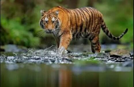 International Tiger Day 2021; ଜାଣନ୍ତୁ ଦେଶର ୫ଟି ପ୍ରସିଦ୍ଧ ବ୍ୟାଘ୍ର ସଂରକ୍ଷଣ ପ୍ରକଳ୍ପ ବାବଦରେ
