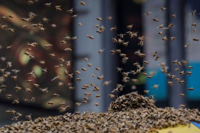 Thousands of Bees Swarm New York Times Square Hot Dog Cart