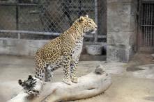 Leopard Enters Maruti's Manesar Plant