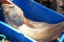 Mumbai Fishermen Strike 'Ghol', Sell a Fish for Rs 5.5 Lakh