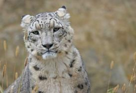Himachal Pradesh Sees a Rise in Snow Leopard Population as Number Crosses 100