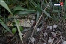 Rain, Hailstorm Damage Mustard Crops In Haryana