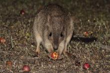 Extinction Warning for Australia's Truffle-eating 'Rat Kangaroo'