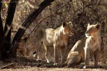 Asiatic Lion population affected as heavy rainfall lashes Gir sanctuary