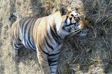 Another Tiger Found Dead in MP, 61 Killed Since 2016
