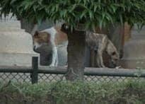 Stray dogs kill Bangalore kid