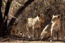 92 Asiatic lions died in Gujarat in last two years