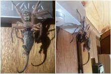 Massive Huntsman Spider Devours Possum in Hotel Room, Horrified Guest's Photo Goes Viral