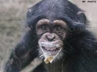 Pet chimpanzees suffer behavioural problems: Study