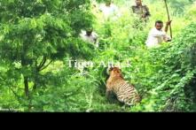 Ranger tries to tame tiger with stick; mauled