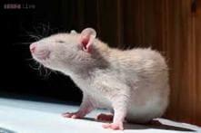 Not just humans, rats too show regret