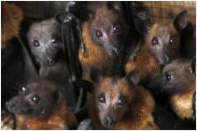 Nagaland Groups Hunting Bats May be at Risk as Study Shows Presence of Ebola Viruses