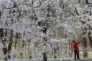 Cherry Blossoms Blooming in Eerily Empty Gardens & Parks Around the World