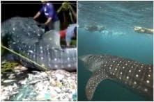 Watch: Kerala Fishermen Release a Whale Shark Back into Water after it Gets Caught in Net