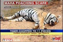 Maharashtra: Tiger poaching on the rise