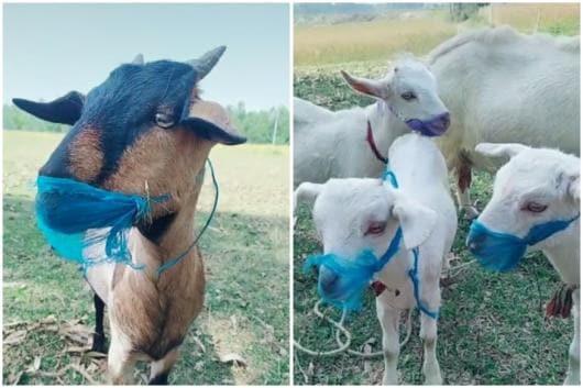 People are putting masks on goats during coronavirus pandemic   Image credit: TikTok