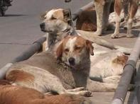 Srinagar municipality to poison 3000 stray dogs