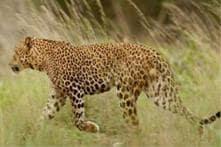 Uttarakhand: Woman killed by leopard in Pauri