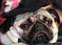 Vodafone pug row: ad agency moves to HC