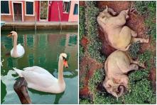 Swans, Dolphins in Venice? Drunk Elephants in China? Fake Animal Videos Spike amid Coronavirus