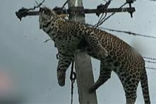 Leopard Climbs Electric Pole, Dies in Telangana