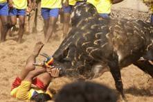 Jallikattu is to Thank Nature, Not to Torment Bulls: PETA