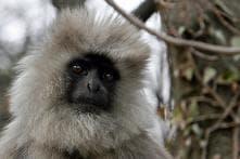Five Langurs Deployed to Keep Away Monkeys During Donald Trump's Agra Visit