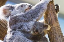 Australia's 'Insurance' Koala Population Halved by Bushfires