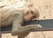 Monkey menace back in Delhi, 25 people injured
